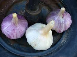 buy organic garlic hardneck seed garlic cloves and bulbs