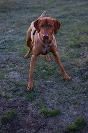 Do Hungarian Wirehaired Vizslas Shed by 1318 Best Vizslas Images On Pinterest Hungarian Vizsla Dogs And
