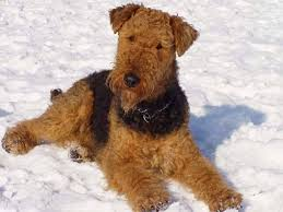 Do Airedale Puppies Shed by Hypoallergenic Dog Breeds Luv My Dogs