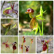 high quality 100pcs for home garden flying duck orchid flower
