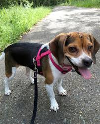 Small Dogs That Dont Shed Uk by Pocket Beagle Dog Breed Information Pictures Characteristics