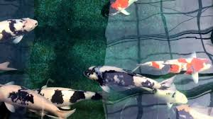 Omosako Koi Farm Visit March 4, 2017. Dreaming In Black And White ... Koi Water Barn Archive 43 Best Bassin Tang Images On Pinterest Backyard Ponds The Market Thekoimarket Twitter Best 25 Ponds For Sale Ideas Polymer Resin Diy Upcoming Auctions Larry A Watson Realtorauctioneer 44 Japanese Koi Fish And Listing 410 Scott Westmoreland Ks Mls 20171278 Cssroads 1617 Japankois Carp 250 Goldfish 189 Aquarium Pond From Niigata