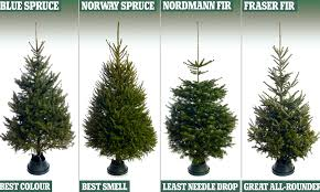 Which Christmas Tree Smells The Best Uk by Which Christmas Tree Smells The Best Uk What Christmas Tree Smells