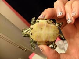 Turtle Shell Not Shedding Properly by Shell Rot Big Pond Turtle Forum