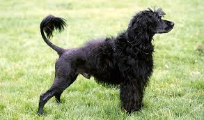 Portuguese Water Dog Non Shedding by Portuguese Water Dog Breed Information