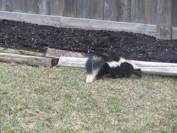 Skunk In Backyard | Outdoor Goods How To Get Rid Of Skunks From Under A Shed Youtube Rabbits Identify And Rid Garden Pest Of And Prevent Infestation With Professional Skunk In Backyard Outdoor Goods To Your Yard Quick Ideas Image Beasts Diggings Droppings Moles Telegraph Mole Removal Skunk Control Treatments Repellent For The Home Yard Garden Odor What Really Works Pics On Extraordinary Affordable Wildlife Control Toronto Raccoon Squirrel Awesome A Wliinc