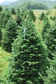 Balsam Christmas Trees by Poppell Farms Poppell Farms Christmas Trees