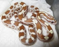 Corn Snake Shedding Time by Ne England Various Corn Snake Hatchlings York Reptile Forums