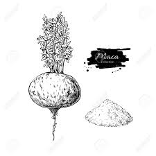 Maca plant and powder vector superfood drawing Isolated hand drawn illustration on white background