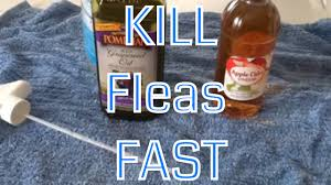 Homemade Flea Powder For Carpet by Diy Get Rid Of Fleas Fast A Non Toxic Effective And Economical