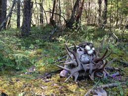 Deer Antler Shedding Cycle by Shed Antlers In Southern Oregon Blacktail Deer Southern Oregon