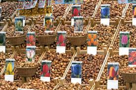science source tulip bulbs for sale amsterdam