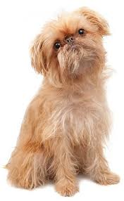 Cute Non Hypoallergenic Dogs by Brussels Griffons What U0027s Good About U0027em What U0027s Bad About U0027em
