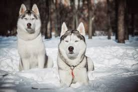Do Samoyed Huskies Shed dog breeds best suited for chicago winters windy city paws
