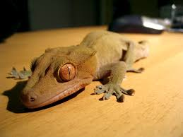 Halloween Harlequin Crested Gecko For Sale by Crested Gecko Crested Gecko Colors And Patterns Reptiles
