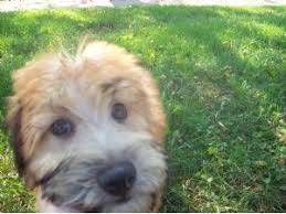 Do Wheaten Terrier Puppies Shed by Soft Coated Wheaten Terrier Puppies For Sale