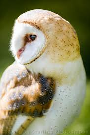 Barn Owl | ~Secret Kingdom~..... | Pinterest | Owl, Barn And ... This Galapagos Barn Owl Lives With Its Mate On A Shelf In The Baby Barn Owl Owls Pinterest Bird And Animal Magic Tito Alba Sitting On Stone Fence In Forest Barnowl Real Owls Echte Uilen Wikipedia Secret Kingdom Young Tyto Roost Stock Photo 206862550 Shutterstock 415 Best Birds Mostly Uk Images Feather Nature By Annette Mckinnnon 63 2 30 Bird Great Grey
