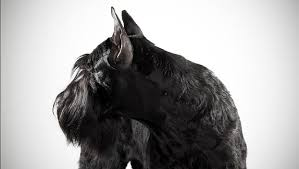 Do Giant Schnauzers Shed by Giant Schnauzer Dog Breed Selector Animal Planet