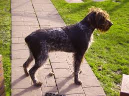 German Shorthaired Pointer Shedding by File German Wirehaired Pointer Jpg Wikimedia Commons