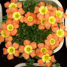 oxalis obtusa coppery orange oxalis flowers bulbs for garden