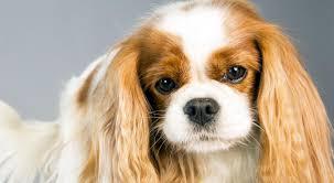 Field Springer Spaniel Shedding by Cavalier King Charles Spaniel Dog Breed Information American