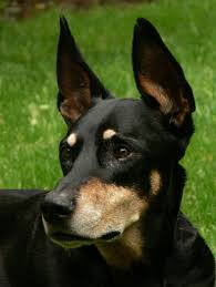Non Shedding Large Dogs by Dog Breeds With Big Ears That Stand Up Dog Breeds