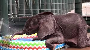 Ellie A Two Month Old African Elephant Took His First Dip In