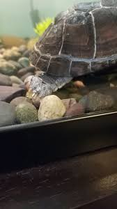 Snapping Turtle Shell Shedding by I Have An African Sideneck Turtle Who Is Shedding Skin In Large