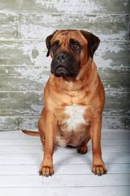 30 Dog Breeds That Shed The Most by The 50 Most Popular Dog Breeds Popular Dog Breeds Dog Breeds