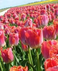 selections from the scheepers from bulbs flower
