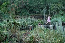 Kiahuna Plantation Resort Kauai s of Moir Garden