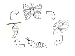 Click To See Printable Version Of Life Cycle A Butterfly Coloring Page