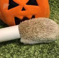 Porcupine Eats Pumpkin by Halloween Hedgehog Pokes His Head Out Of A Stuffed Pumpkin Daily