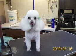Lhasa Apso Poodle Mix Shedding by Poodle Toy U2013 Fluff U0026 Dry Grooming Salon