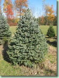 What Is The Best Christmas Tree Variety by 7 Best Christmas Tree Varieties Images On Pinterest Christmas