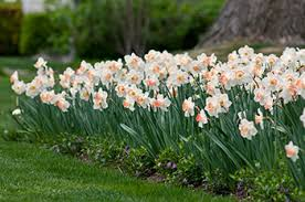 when deer and squirrels are a problem plant bulbs they don t like