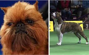 Do Border Terriers Shed by How Bad Do American Staffordshire Terriers Shed Advice From