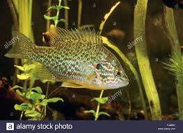 Pumpkin Seed Sunfish Pictures by Pumpkin Seed Sunfish Pumpkinseed Lepomis Gibbosus Swimming