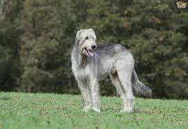 Irish Wolfhound Non Shedding by Irish Wolfhound Dog Breed Information Buying Advice Photos And