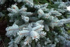Picea Omorika Vilmorin Serbian Spruce