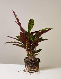 gallery image calathea low light plants inside garden