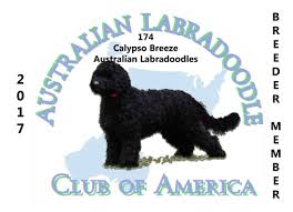 Non Shedding Small Dogs Australia by Calypso Breeze Australian Labradoodles Hypo Allergenic Low Non