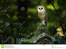 Magic Bird Barn Owl, Tito Alba, Sitting On Stone Fence In Forest ... This Galapagos Barn Owl Lives With Its Mate On A Shelf In The Baby Barn Owl Owls Pinterest Bird And Animal Magic Tito Alba Sitting On Stone Fence In Forest Barnowl Real Owls Echte Uilen Wikipedia Secret Kingdom Young Tyto Roost Stock Photo 206862550 Shutterstock 415 Best Birds Mostly Uk Images Feather Nature By Annette Mckinnnon 63 2 30 Bird Great Grey