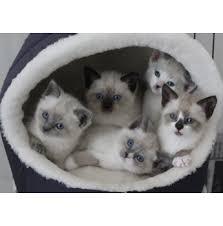 snowshoe cat snowshoes snowshoe cat breeder melbourne vic