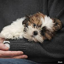 Quiet Small Non Shedding Dog Breeds by 10 Great Small Dog Breeds For First Time Owners