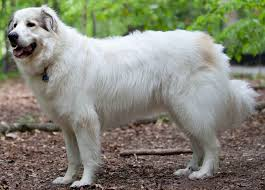 great pyrenees dog breed information and images k9 research