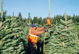 Balsam Christmas Tree Care by Your Christmas Tree Has Lived Through One Hell Of An Adventure