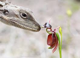 flying duck orchid meets lizard what do u say flickr