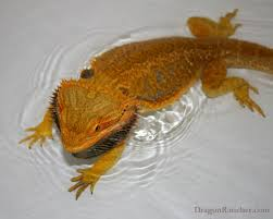 Bearded Dragon Shedding Process by Bearded Dragons Dragon Rancher