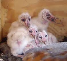 Cook, Diane / Owls Barn Owl Focus On Cservation Best 25 Baby Ideas On Pinterest Beautiful Owls Barn Steal The Show As Day Turns To Night At Heartwood Family Ties Owl Chicks Let Their Hungry Siblings Eat First The Perch Uncommon Banchi Baby Coastal Home Giftware From Horizon Stock Image Image Of Small Young Looking 3249391 You Know Birdnote Banding By Alex Lamoreaux Nemesis Bird